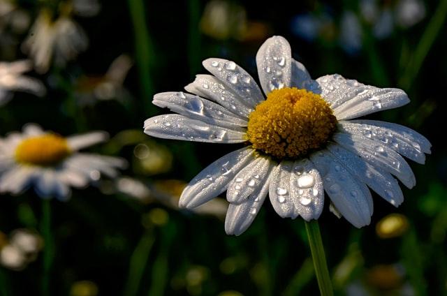 Gänseblümchen-Krone